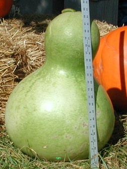 African Wine Kettle Gourd