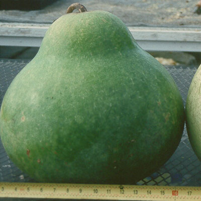 Large Drum Gourd